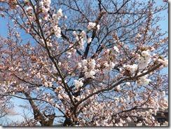 4月15日 桜