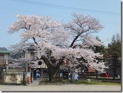 4月18日桜