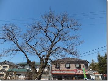 酒のかどやと桜の木